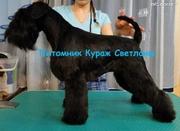 Цвергшнауцера щенки чёрного окраса