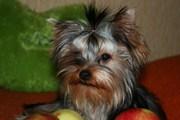 йоркширского терьера подрощеные щенки