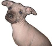 мексиканской голой щенки