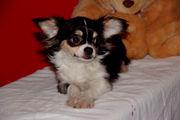 Продается подрощенный щенок  чихуахуа!