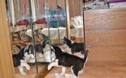 сибирский хаски у нас есть щенки