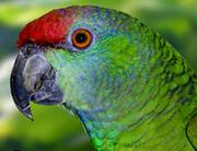Попугай Амазон - ручные птенцы выкормыши,  разные виды