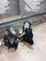 малыши человекообразных обезьян