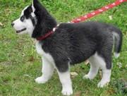 X-Mas мужские и женские Сибирский хаски щенки