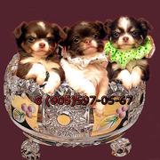 Чихуахуа щенки шоколадного окраса, чудесные и здоровенькие