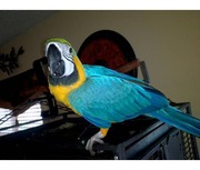 Синие и золотые попугаи ара предложить