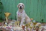 Продаем щенков голден-ретривер, с отличной родословной