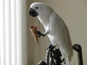 Замечательный попугай в подарок.