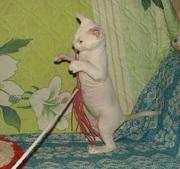 уральский рекс-не аллергичные кошки