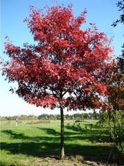 Красный дуб,  саженцы