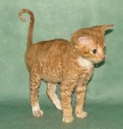 уральский рекс неаллергенные кошки котята