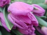 Тюльпаны  к 8 марта от производителя.