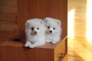 Шпиц белые щенки девочки. Красивые и качественные. Документы.
