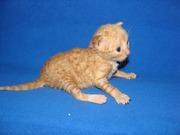 рыжий котенок питомник